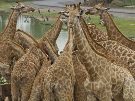 Giraffes in  park,Thailand