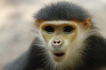 關閉了一個美麗的白臀葉猴的 版權商用圖片