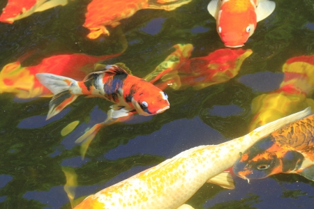 A pond of Koi fish photo