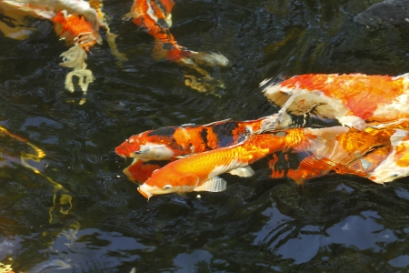 Colorful Koi or carp  fish in water  photo