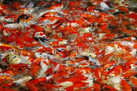 Many Koi carp feeding in a group   photo