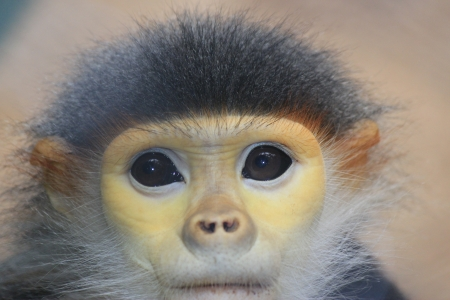 Douc Langur monkey close up Stock Photo - 14534172