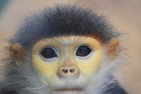 Douc Langur monkey close up Stock Photo - 14534172