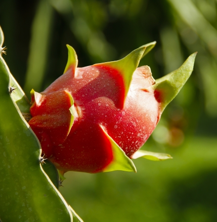 Sweet and great taste of dragon fruit on the branch photo