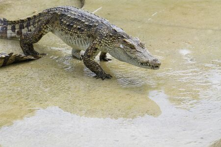 Large crocodile resting beside the pool photo