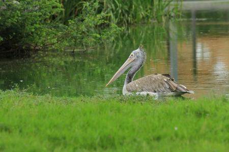 malandros: Cerca al contado Anunciado Pelican Foto de archivo