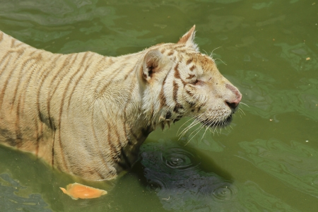 white tiger  play in water photo