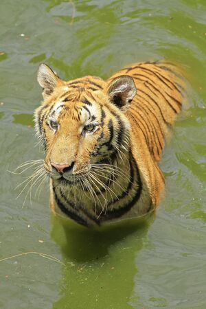 tigers  play in water photo
