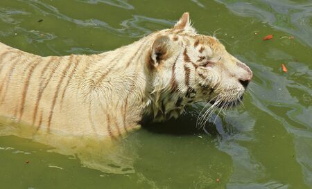 white tiger standing in water  photo