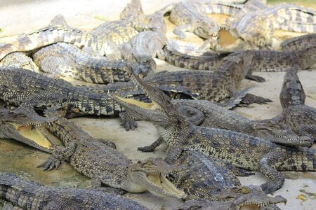 group of large freshwater crocodile photo