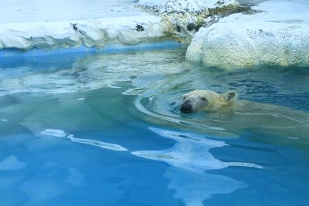 White polar bear in water 版權商用圖片