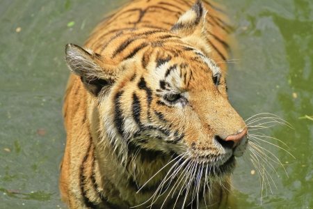 tigers  play in water