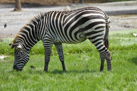 Zebra eating grass on field photo