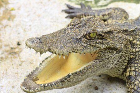 鱷魚的頭與嘴大開 版權商用圖片
