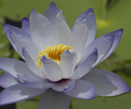 beauty lotus flower photo