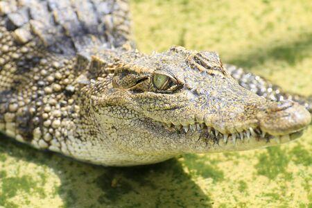 Crocodile in farm Thailand
