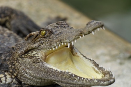 The mouth of a crocodile Stock Photo - 15335650