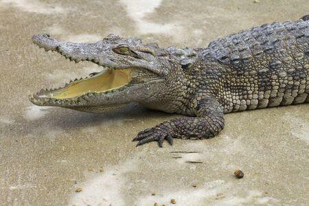 Large crocodile resting beside the pool