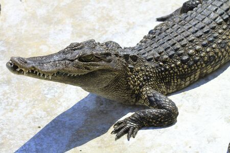 Large freshwater crocodile