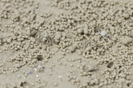 蟹使得沙球在沙灘上