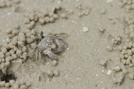 hermit crab: Crab making sand balls on the beach