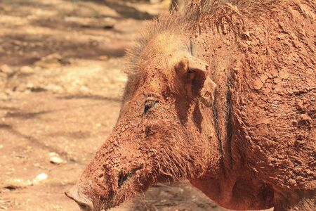 Closeup shoot of Wild Boar photo