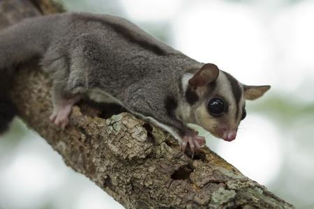 animal pouch: sugar-glider climb on the tree