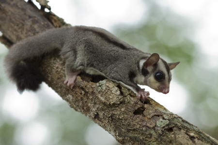 sugar-glider climb on the tree photo
