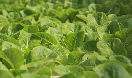 綠生菜沙拉水培蔬菜