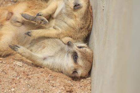 buena postura: meerkat