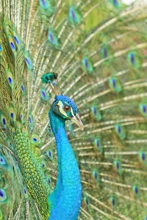 Peacock feather display photo