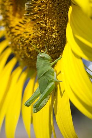 giant sunflower: Macro grassshopper a giant sunflower