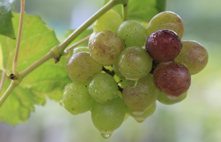 fresh grapes photo