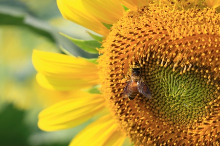 Bee standing on the sunflower Stock Photo