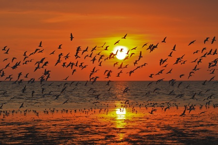 edmonds: Many seagulls flying themselves in the sunset Stock Photo