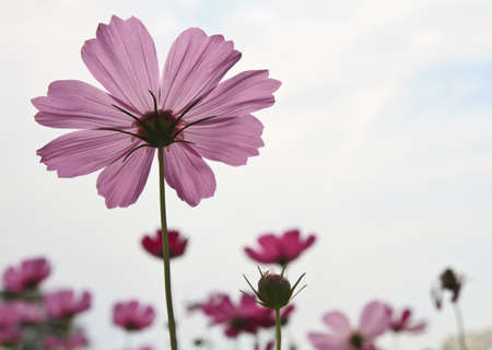 Cosmos flower against the sky photo