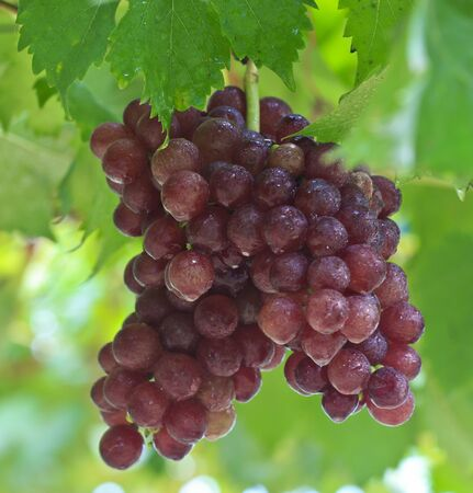 Vineyard Grapes photo