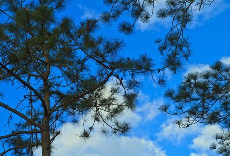 Beautiful large pine trees against the sky Stock Photo - 17109800