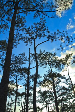 Beautiful large pine trees against the sky Stock Photo - 17109799