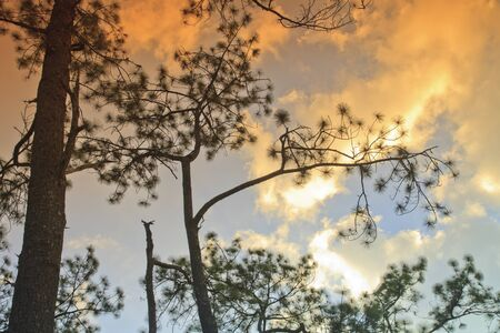 Beautiful large pine trees against the sky Stock Photo - 17109788