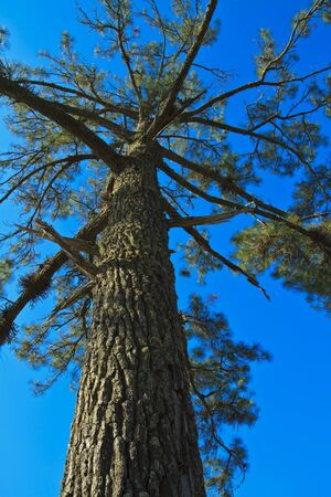 Beautiful large pine trees against the sky Stock Photo - 17109794