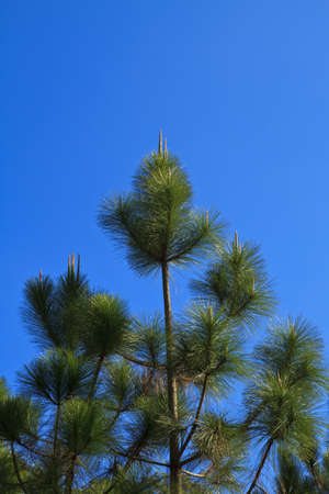 Beautiful large pine trees against the sky Stock Photo - 17109791
