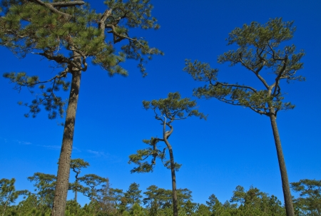 Beautiful large pine trees against the sky Stock Photo - 17110844