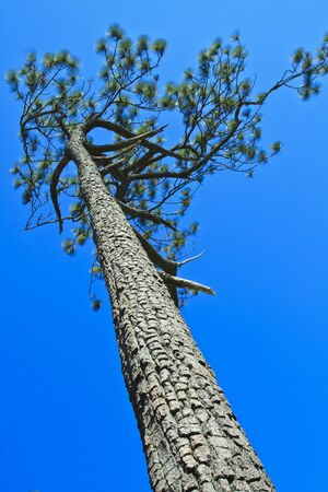 Beautiful large pine trees against the sky Stock Photo - 17110818