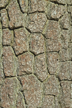 pine tree bark texture photo