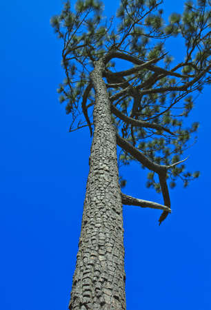 Beautiful large pine trees against the sky Stock Photo - 17110845