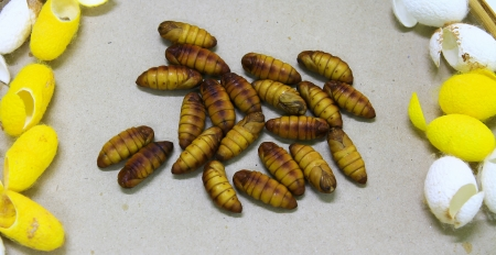 chrysalis silkworm ,silk worm cocoon photo