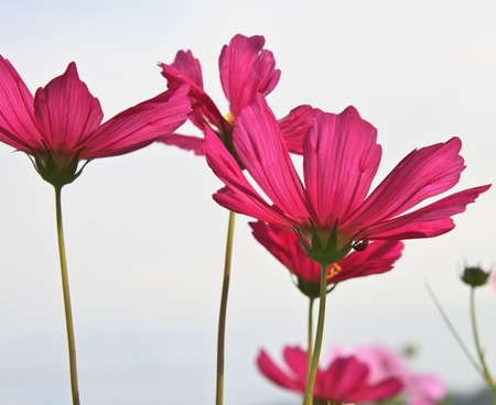 Cosmos flower against the sky Stock Photo - 17191192
