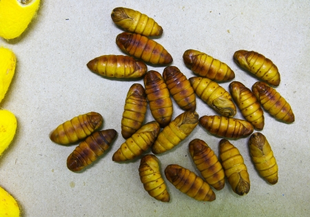silkworm cocoons photo