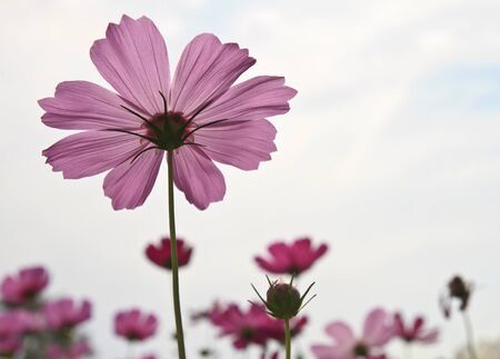 Beautiful Floral Cosmos flower  photo